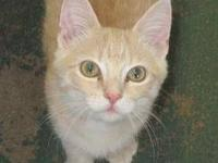 Domestic Short Hair - Orange and white - Claude - Small