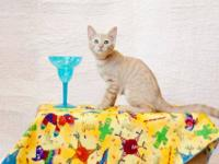 Domestic Short Hair - Orange and white - D.c. - Small -
