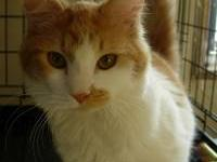 Domestic Short Hair - Orange and white - Dawn - Medium
