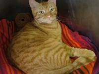 Domestic Short Hair - Orange and white - Debbie -