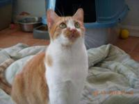 Domestic Short Hair - Orange and white - Donovan -