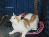 Domestic Short Hair - Orange and white - Eltan - Medium