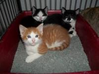 Domestic Short Hair - Orange and white - Felice - Small