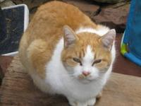 Domestic Short Hair - Orange and white - Flash - Medium