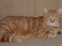 Domestic Short Hair - Orange and white - Frank - Large