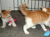 Domestic Short Hair - Orange and white - Fred - Medium