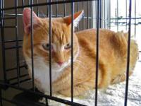 Domestic Short Hair - Orange and white - Frenchie -