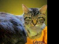 Domestic Short Hair - Orange and white - George -
