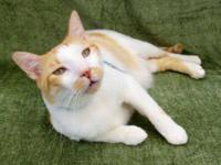 Domestic Short Hair - Orange and white - Ginger - Large