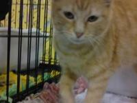 Domestic Short Hair - Orange and white - Ginger - Small