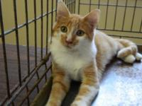 Domestic Short Hair - Orange and white - Goldie -