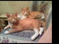 Domestic Short Hair - Orange and white - Grantham And