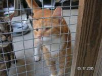 Domestic Short Hair - Orange and white - Heathcliff -