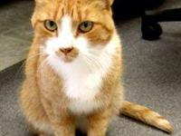 Domestic Short Hair - Orange and white - Herbie -