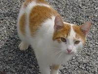 Domestic Short Hair - Orange and white - Hollace -