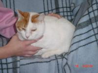 Domestic Short Hair - Orange and white - Jack - Large -