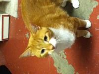 Domestic Short Hair - Orange and white - Jane - Small -