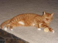 Domestic Short Hair - Orange and white - Jaws - Medium