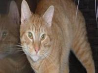 Domestic Short Hair - Orange and white - Jeepers -