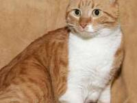 Domestic Short Hair - Orange and white - Lexapro -