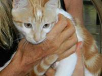 Domestic Short Hair - Orange and white - Little Red -