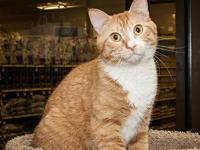 Domestic Short Hair - Orange and white - Lucky Boy -