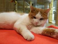 Domestic Short Hair - Orange and white - Lucky - Medium
