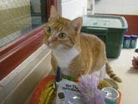 Domestic Short Hair - Orange and white - Mimosa -
