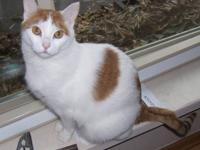 Domestic Short Hair - Orange and white - Morris - Large