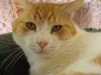 Domestic Short Hair - Orange and white - Morris - Small