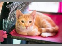 Domestic Short Hair - Orange and white - Neal - Small -
