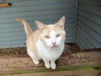 Domestic Short Hair - Orange and white - O.j. - Small -