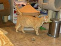 Domestic Short Hair - Orange and white - Orange Julius