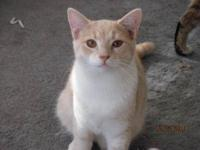 Domestic Short Hair - Orange and white - Oscar - Medium