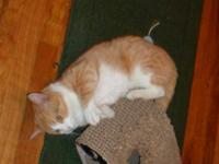 Domestic Short Hair - Orange and white - Otis - Extra