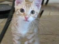 Domestic Short Hair - Orange and white - Owen - Small -