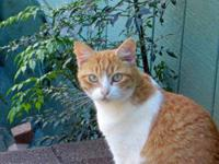 Domestic Short Hair - Orange and white - Paint - Medium