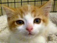 Domestic Short Hair - Orange and white - Pumpkin -