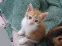 Domestic Short Hair - Orange and white - Ricky - Medium