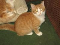 Domestic Short Hair - Orange and white - Ringo - Medium