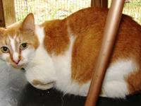 Domestic Short Hair - Orange and white - Rocky - Medium