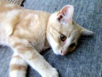 Domestic Short Hair - Orange and white - Scooby - Large