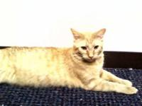 Domestic Short Hair - Orange and white - Seana - Medium