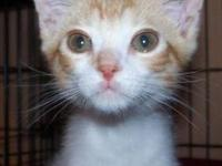 Domestic Short Hair - Orange and white - Shelby - Small