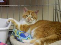 Domestic Short Hair - Orange and white - Sonny - Large