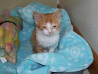Domestic Short Hair - Orange and white - Sophie - Small