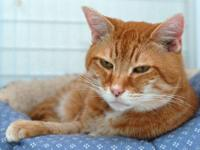 Domestic Short Hair - Orange and white - Stanley -