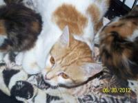Domestic Short Hair - Orange and white - Sugar - Medium