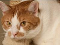 Domestic Short Hair - Orange and white - Tang - Large -