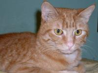 Domestic Short Hair - Orange and white - Tommy - Medium